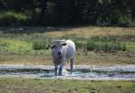 Koe zoekt verkoeling in het Roverts Ven